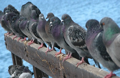 pigeon pest control